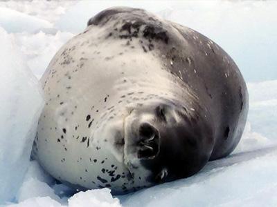 Antartida - Foca de Weddell