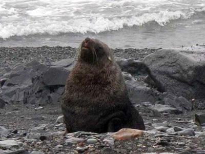 Antartida - Lobo marinho