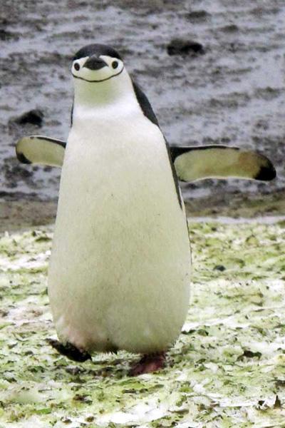 Antartida -pinguim de barbicha